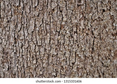 White Oak tree bark background texture, Winter in Georgia USA.