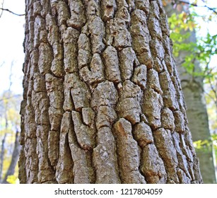 White oak tree bark with deep crevices