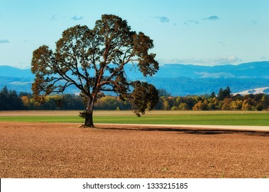 A White Oak tree cast a shadow across an agriculture field.  Oregon coastal mountain range is seen in the background