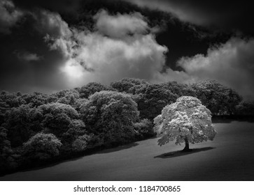 White Oak tree in field, captured in infrared black and white