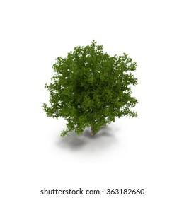 White Oak Tree Summer on White Background