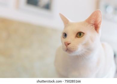 White Odd-Eyed Cat on Table