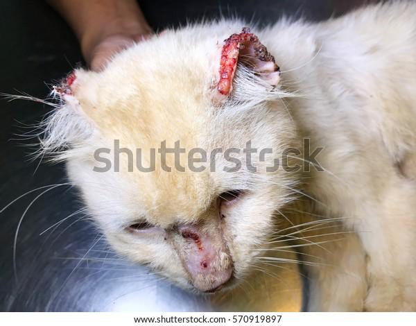 White Old Male Feline Cat Lesion Stock Photo Edit Now 570919897