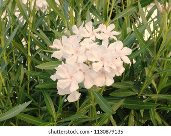 White oleander flower images stock photos vectors shutterstock white oleander flowers mightylinksfo