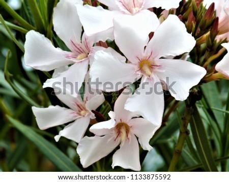 White Oleander Flowers Stock Photo Edit Now 1133875592 Shutterstock