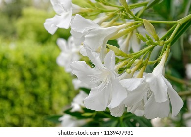 White oleander images stock photos vectors shutterstock white oleander flowers bunch close up mightylinksfo