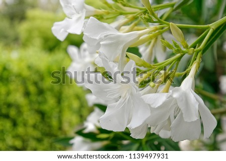 White oleander flowers bunch close stock photo edit now 1139497931 white oleander flowers bunch close up mightylinksfo