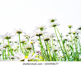 White on white daisies reach for the sky natural spring summer background