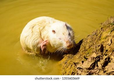 White ondatra, muskrat in the pond