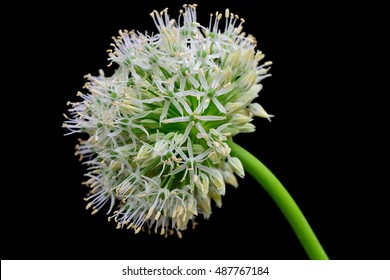 white onion flower isolated on black