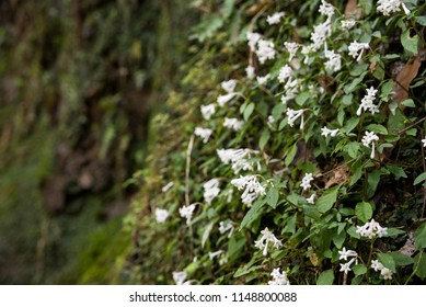 White ophiorrhiza japonica flower colony blooming on cliff