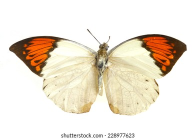 white orange   butterfly isolated, set of realistic amazing tropical butterflies and alive  bug , zoology,wild ,entomology, beautiful wing collection ,insect animal stuff icon