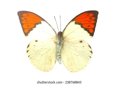 white orange butterfly isolated, Set of realistic colorful tropical butterflies and insect, zoology,wild,entomology, one alive exotic butterfly with beautiful wing collection ,insect animal stuff icon