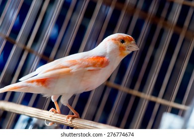 White and orange canary (Serinus canaria).,canary