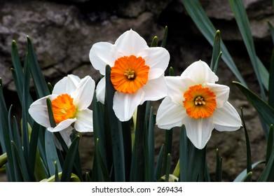White and orange Daffodils.