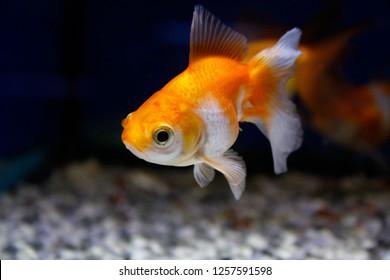 White and Orange Fantail Goldfish - Closeup - Long tail fish