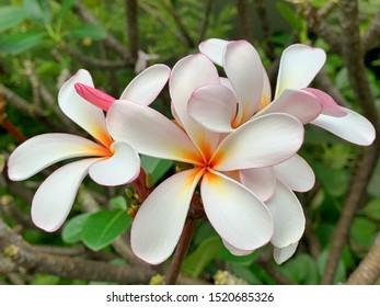 White orange frangipani tropical flowers