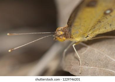 White orange tip (Ixias marianne). Female. Keoladeo Ghana. Bharatpur. Rajasthan. India.