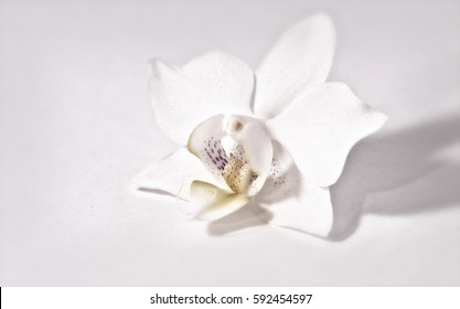 White orchid with white background