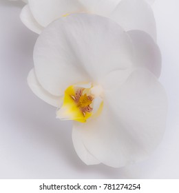White orchid, beautiful flower on white background