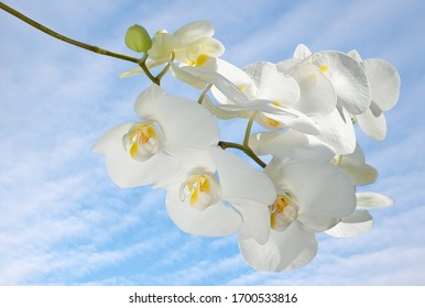 White orchid branch on blue sky background