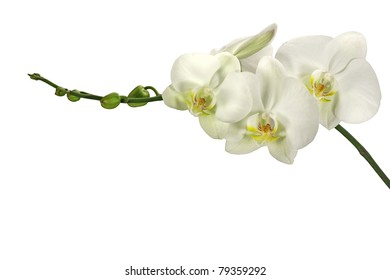 White orchid with bud (on a isolated background)