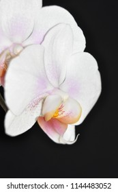 White orchid closeup with black background