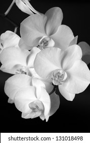 White orchid closeup. Black and white photo.