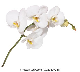 White Orchid Cut out to white