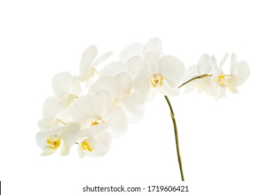 White orchid flower branch isolated on a white background