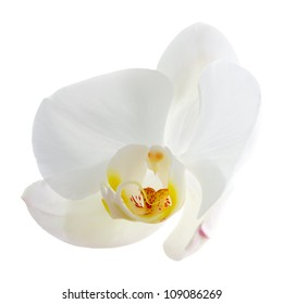 white orchid flower isolated on white background