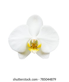A white orchid flower isolated on white background