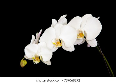 1000 White Orchid Black Background Pictures Royalty Free Images