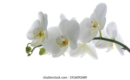 White orchid flower on a white background. Selective focus with copy space. Banner. Wallpaper.