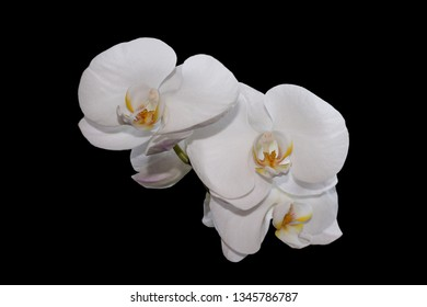 White orchid flower on pitch black background