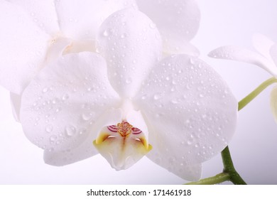 white orchid flower with water droplets macro separately on a wh
