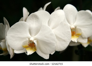White orchid flowers close-up