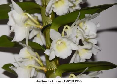 white orchid flowers - Dendrobium nobile
