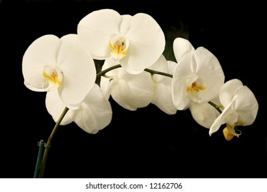 White orchid flowers isolated on black background. Phalaenopsis hybrid.