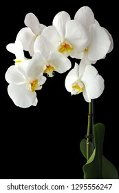 White orchid flowers on black background closeup
