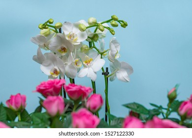 A white Orchid with large white flowers on a delicate light background and a pink rose in the blur in the foreground, many buds. Close up. Copy space.