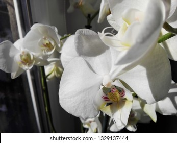 white orchid near the window