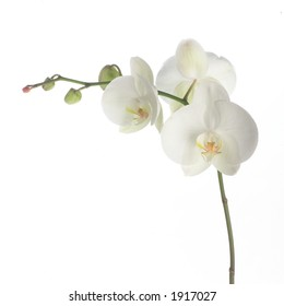 White orchid on white.