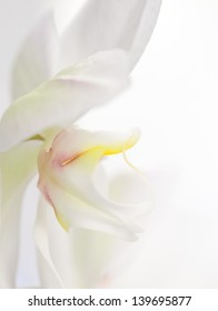 White orchid on white background with copy space