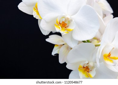 White Orchid on a black background with space for text.