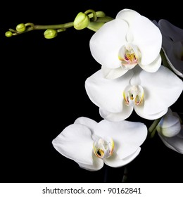 White orchid on a black background