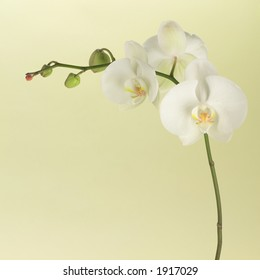 White orchid on soft green