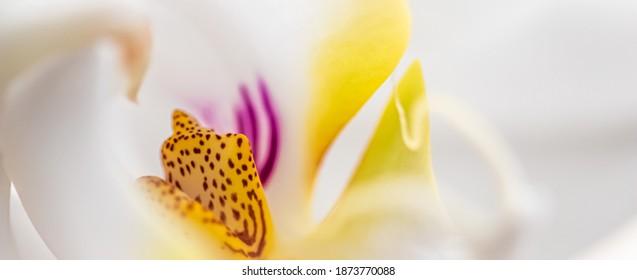 White orchid phalaenopsis flower fragment, macro. Floral background