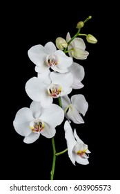 White orchid phalaenopsis flower, isolated on a black background