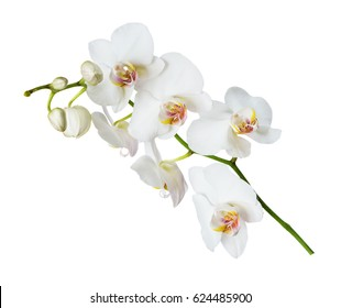 White orchid phalaenopsis flower isolated on a white background